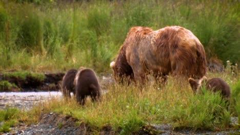 An-Adult-Kodiak-Bear-(Ursus-Arctos-Middendorffi)-Fishing-In-A-Creek-With-Her-Cubs-Nwr-Alaska-2007