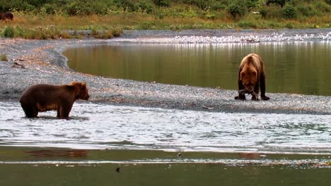 Adult-Kodiak-Bears-(Ursus-Arctos-Middendorffi)-Fish-In-A-Creek-Nwr-Alaska-2007