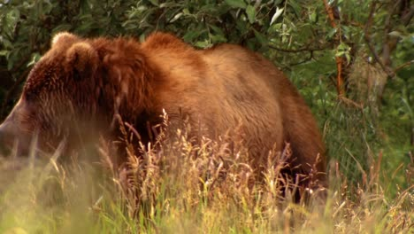 Kodiak-Bear-(Ursus-Arctos-Middendorffi)-Sits-In-Weeds-Nwr-Alaska-2007