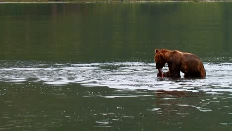 Kodiak-Bear-(Ursus-Arctos-Middendorffi)-Catches-And-Eats-A-Salmon-In-A-Lake-Nwr-Alaska-2007
