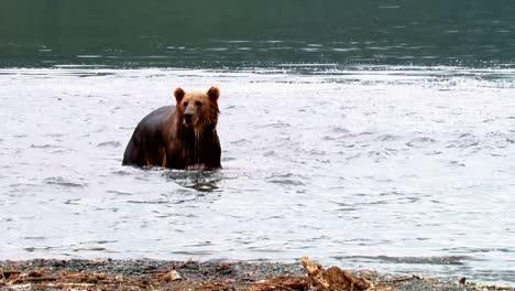 Kodiak-Bears-(Ursus-Arctos-Middendorffi)-Hang-Out-Near-A-River-Nwr-Alaska-2007