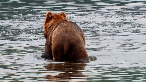 Kodiak-Bear-(Ursus-Arctos-Middendorffi)-Wades-In-A-River-Fishing-For-Salmon-Nwr-Alaska-2007