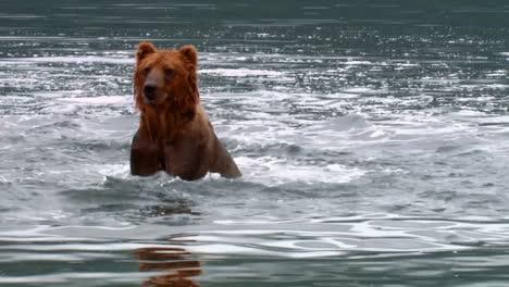 Kodiak-Bear-(Ursus-Arctos-Middendorffi)-Catches-And-Eats-A-Salmon-Nwr-Alaska-2007