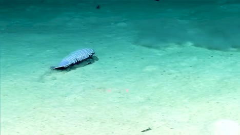Giant-Isopod-In-The-Gulf-Of-Mexico-2017