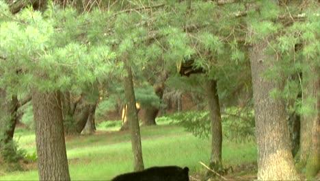 Un-Oso-Negro-(ursus-Americanus)-Que-Se-Establecen-Comiendo-Manzanas-2016