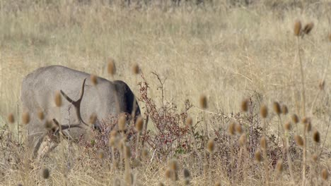 Mule-Deer-(Odocoileus-Hemionus)-Large-Buck-With-Big-Antlers-Browsing-In-Weeds-At-The-National-Bison-Range-Montana-2015