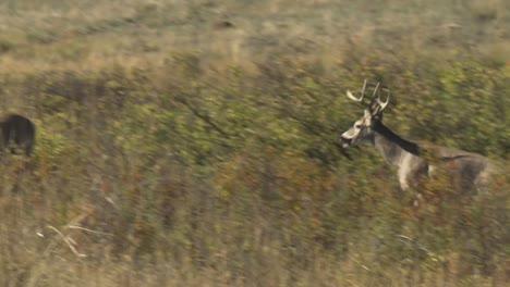 Two-Whitetailed-Deer-(Odocoileus-Virginianus)-Bucks-Elk-(Cervus-Canadensis)-Bull-With-Several-Females-National-Bison-Range-Montana-2015