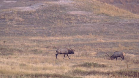 Two-Large-Bull-Elk-(Cervus-Canadensis)-Pacing-Near-Each-Other-Large-Bull-Elk-In-Field-National-Bison-Range-Montana-2015
