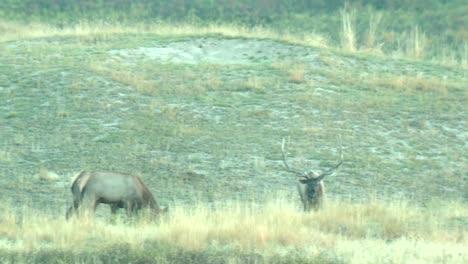 Various-Shots-Of-Elk-(Cervus-Cenadensis)-At-The-National-Bison-Range-Montana-2015