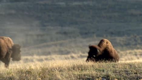 Ein-Junger-Amerikanischer-Bison-(Bison-Bison)-Spielt-Im-Dirt-Rock-Mountain-Dickhornschaf-(Ovis-Canadensis)-Zu-Fuß-Auf-Einem-Hügel-National-Bison-Range-Montana-2015