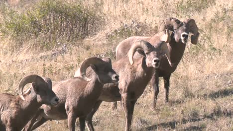 Rock-Mountain-Bighorn-Sheep-(Ovis-Canadensis)-Drink-From-A-Pond-National-Bison-Range-Montana-2015