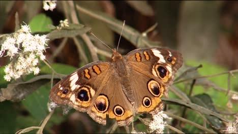 Los-Primeros-Planos-Muestran-Mariposas-Polinizando-Flores-1