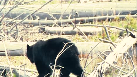 Black-Bear-(Ursus-Americanus)-Moving-Between-Trees-B-Roll