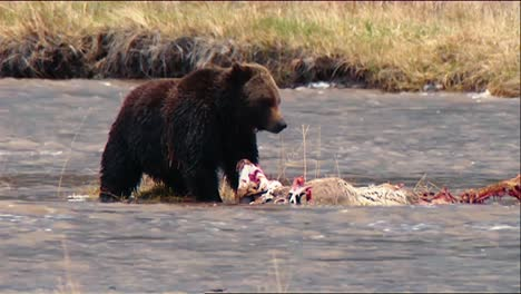 Grizzly-Bear-(Ursus-Arctos)-At-Yellowstone-National-Park-In-Shallow-Water-Eating-Remains-Of-Deer-B-Roll