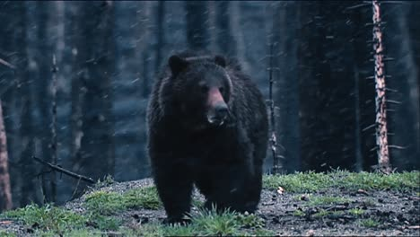 Grizzly-Bear-(Ursus-Arctos)-Eating-With-A-Dark-Forest-Behind-And-Heavy-Snow-Fall-B-Roll