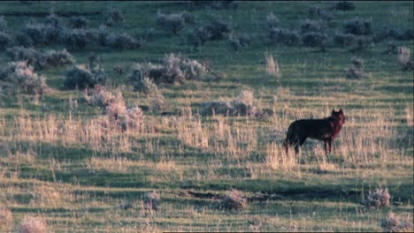 Gray-Wolfs-(Canis-Lupus)-At-Yellowstone-National-Park-Walking-Around-In-A-Field-B-Roll
