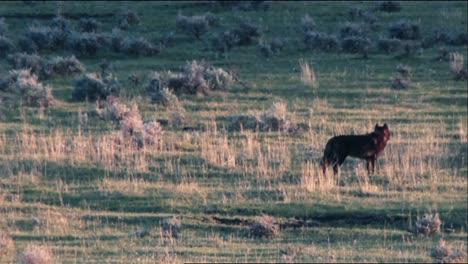 Lobos-Grises-(Canis-Lupus)-En-El-Parque-Nacional-De-Yellowstone-Caminando-En-Un-Campo-B-Roll