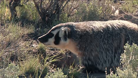 American-Badgers-(Taxidea-Taxus)-At-Yellowstone-National-Park-B-Roll