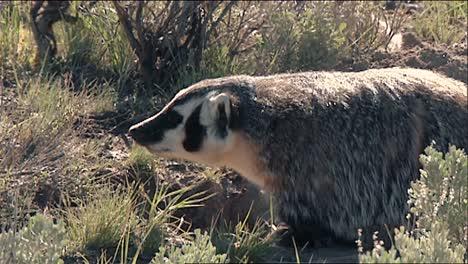 American-Tejones-(taxidea-Taxus)-En-El-Parque-Nacional-De-Yellowstone-B-Roll