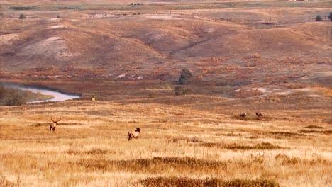 Alces-Pastando-En-Una-Colina-En-La-Cordillera-Nacional-De-Bisontes-Montana-B-Roll