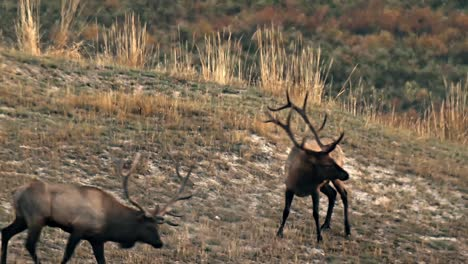 Two-Elk-Bucks-Facing-Each-Other-Several-Times-Until-One-Eventually-Leaves-National-Bison-Range-Montana