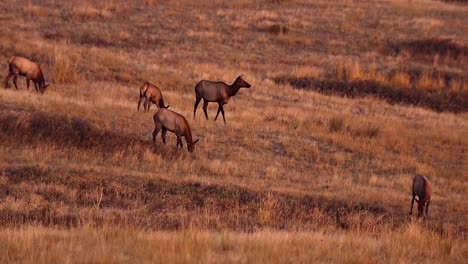 Female-And-Male-Elk-Grazing-In-An-Open-Grassy-Field-National-Bison-Range-Montana-B-Roll