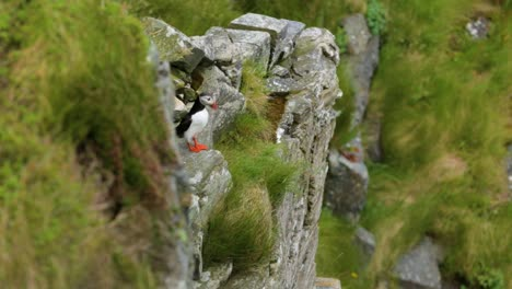 A-puffin-peeks-out-among-some-grassy-rocks-in-Reykjavik-Iceland