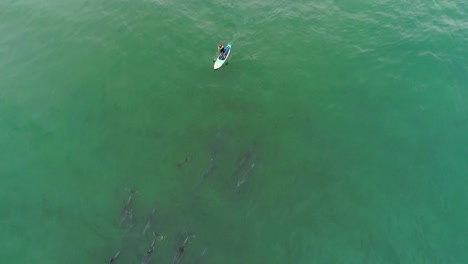 Vista-Aérea-Over-Dolphins-Swimming-With-A-Paddleboarder-In-The-Ocean-Near-Malibu-California-1
