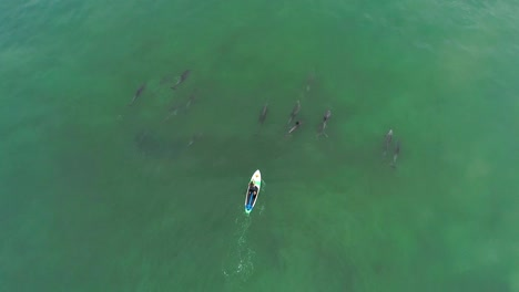 Aerial-Over-Dolphins-Swimming-With-A-Paddleboarder-In-The-Ocean-Near-Malibu-California-2