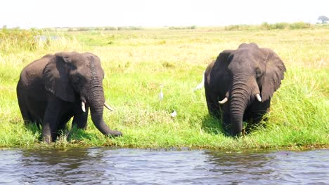 Elephants-Drink-In-Slow-Motion-From-The-Kwando-River-On-The-Caprivi-Strip-In-Namibia