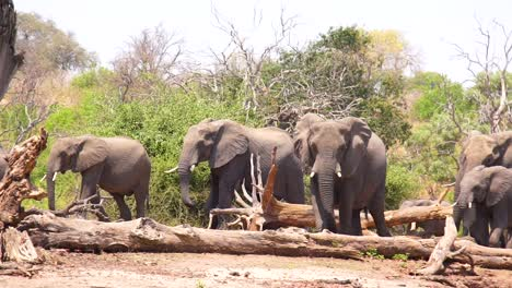 A-Large-Herd-Of-Elephants-Walks-In-Extreme-Slow-Motion-Along-The-Caprivi-Strip-In-Namibia