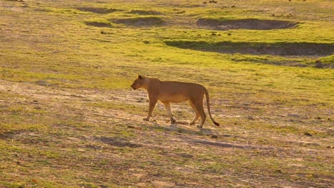 Female-Lion-Lioness-Walks-In-Slow-Motion-Across-The-Savannah-In-Namibia