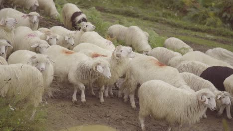 Sheep-Are-Herded-On-A-Road-In-Kosovo-Balkans
