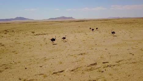 Buena-Antena-De-Avestruces-Corriendo-En-El-Desierto-De-Namib-Namibia