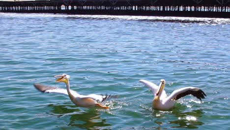 White-Pelicans-Fly-And-Catch-Fish-In-Slow-Motion-Namibia-Africa