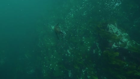 Good-Underwater-Shot-Of-A-Seal-Playing-And-Diving-With-Snorkelers-And-Scuba-Divers-Off-The-Coast-Of-South-Africa