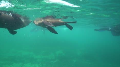Buena-Filmación-Submarina-De-Focas-Jugando-Y-Buceando-Con-Buceadores-Y-Buceadores-Frente-A-Las-Costas-De-Sudáfrica-1