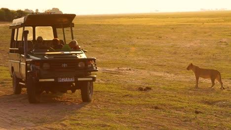 Un-Safari-Clásico-Y-Hermoso-Con-Leones-Y-Turistas-En-Un-Vehículo-Safari-4wd-Tomando-Fotografías-