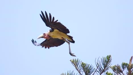 Nice-Slow-Motion-Shot-Of-A-Maribou-Stork-In-Flight-Uganda