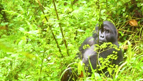 Montaña-Gorilla-Is-Seen-In-Slow-Motion-In-The-Virunga-Rainforest-Of-Uganda