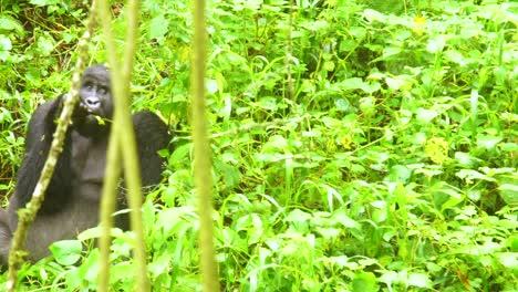 Mountain-Gorilla-Eating-Vegetation-In-Slow-Motion-In-The-Virunga-Rainforest-Of-Uganda