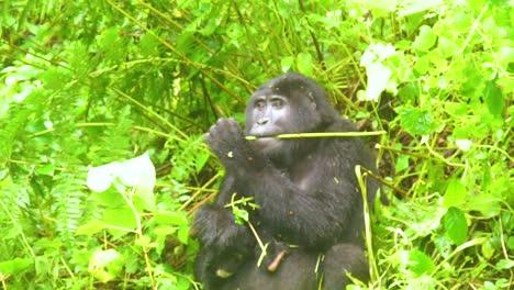Mountain-Gorilla-Eating-Vegetation-In-Slow-Motion-In-The-Virunga-Rainforest-Of-Uganda-1