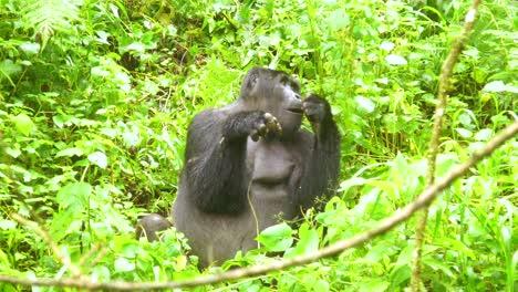 Montaña-Gorilla-Eating-Vegetation-In-Slow-Motion-In-The-Virunga-Rainforest-Of-Uganda-2