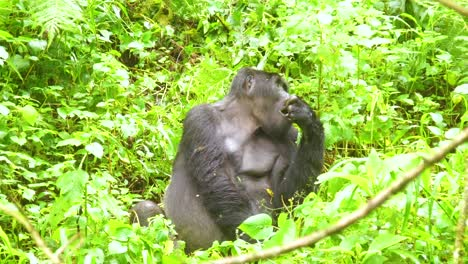 Mountain-Gorilla-Eating-Vegetation-In-Slow-Motion-In-The-Virunga-Rainforest-Of-Uganda-3