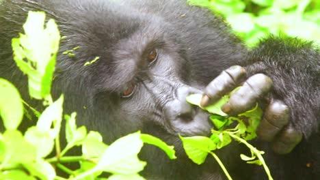 Mountain-Gorilla-Eating-Vegetation-In-Slow-Motion-In-The-Virunga-Rainforest-Of-Uganda-4