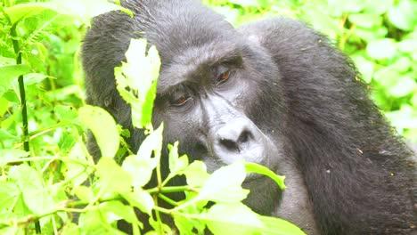 Mountain-Gorilla-Eating-Vegetation-In-Slow-Motion-In-The-Virunga-Rainforest-Of-Uganda-5