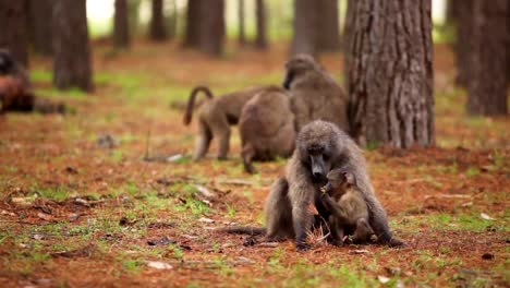 A-troop-of-baboons-adults-and-babies-sit-in-a-forest-and-groom-each-other