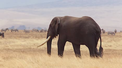 Beautiful-shot-of-a-dark-elephant-walking-in-the-grass-at-Ngorongoro-Crater-Tanzania