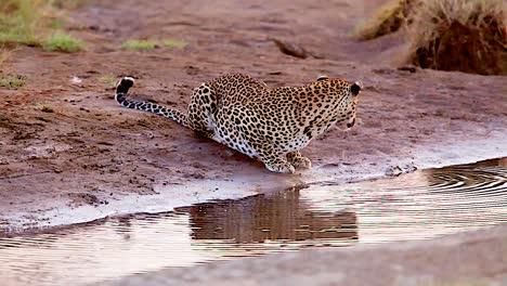 Magnífica-Foto-De-Un-Leopardo-Bebiendo-En-Un-Abrevadero-De-Safari-En-El-Serengeti-Tanzania