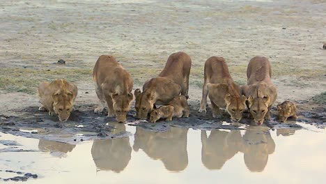 Magnificent-shot-of-a-family-of-lions-drinking-at-a-watering-hole-on-safari-at-the-Serengeti-Tanzania